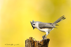 Tufted Titmouse | Explore # 317 on Feb. 2, 2015 (Flickrtographer) Tags: wild bird nature birds backyard raw wildlife explore perched titmouse tufted songbird tuftedtitmouse cindybryant sigma150500mm nikond7000 photocontesttnc11 birdstnc11 cindybryantphotography photocontesttnc12 photoofthedaynwf12 cindyjbryant firstbirdphoto2015 explore20150201