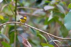 Paruline ceinture (Jacques GUILLE) Tags: bird costarica oiseau collaredredstart myioborustorquatus sangerardodedota amigodelhombre parulineceinture