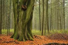 Die Stmme der Zwlf-Apostel-Buchen; Lingen, Baccumer Wald (40) (Chironius) Tags: wood trees tree germany deutschland madera rboles boom arbres rbol bok alemania albero holz landschaft wald bume allemagne arbre rvore baum rinde trd hout germania bois corce legno fagus corteccia emsland buche lingen beuken aa  niedersachsen  buchen  fagaceae schors faia borke  rotbuche ladrido fagales rosids    buchengewchse  kayn buchenartige fagoideae baccumerforst baccumerwald fabids lingenerhhe