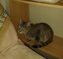 Krilin 22 (Asociacin Defensa Felina de Sevilla) Tags: espaa sevilla gatos felinos animales gatitos adoptar protectora adopciones apadrinar gatosurbanos defensafelina asociacindeanimales coloniasdegatos proteccindegatos activismoporlosanimales