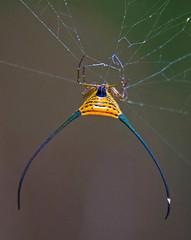 Long-horned Spider In Web, Macarantha sp. (aeschylus18917) Tags: danielruyle aeschylus18917 danruyle druyle ダニエルルール ダニエル ルール thailand macro nature spider arachnid longhornedspider macracantha ราชอาณาจักรไทย ratchaanachakthai thai 200400mm aranea web silk 蜘蛛 クモ suratthani pxt khaosok khaosoknationalpark araneae pxxt pxt2 pxxtd