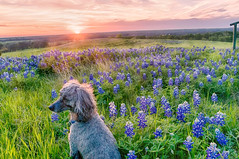 Texas Bluebonnets at Sunset and Hound Dog (Ronnie Wiggin) Tags: flowers trees sunset usa dog sunrise landscape spring nikon texas country wildflowers ennis bluebonnets springtime hounddog d300 bloomingflowers texasbluebonnets nikond300 sugarridgerd rwigginphotos ronniewiggin texasbluebonnetsatsunsetandhounddog