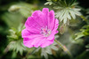 Geranium (MacBeales) Tags: pink green leaves canon eos 350d petals bokeh nik filters geranium