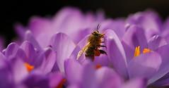 busy bee (Marcus Rahm) Tags: flower nature purple blossom natur crocus bee blte krokus biene krokusse canon60d canonef100mmf28lmacroisusm