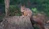 DSC08178rawcon_a (ger hadem) Tags: veluwe zwijn eekhoorn gerhadem