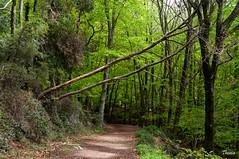Santa Fe del Montseny (Gatodidi) Tags: barcelona santa parque naturaleza verde del landscape nikon arboles camino natural paisaje bosque catalunya fe tronco parc catalua sendero piedras bosc ramas montseny d90 paisatje