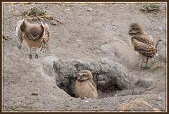 Boing Boing Boing 9888 (maguire33@verizon.net) Tags: bird wildlife siblings owl chino burrowingowl owlet