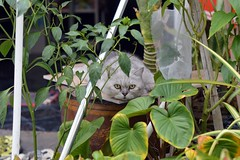 cat in the garden (the foreign photographer - ) Tags: plants water cat thailand persian store nikon bangkok gray entrance jar convenience bangkhen d3200 may142016nikon