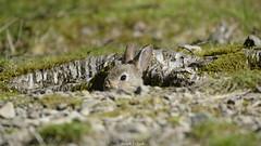 Peekaboo Bunny (Ralph J Clark) Tags: rabbit bunny spring lakedistrict cumbria sigma150500mmf563dgoshsm