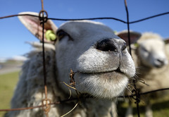 Hello (Wouter de Bruijn) Tags: cute nature face animal closeup nose funny sheep farm fujifilm curious snout fujinon14mmf28 fujifilmxt1