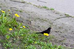 Bird and Flower (xxcheng) Tags: flower bird animal germany deutschland spring europe outdoor hamburg dandelion 花 植物 蒲公英 欧洲 动物 春天 löwenzahn 德国 鸟 汉堡