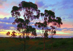 The Tree Graces - Sunset Autumn May 2016 (maginoz1) Tags: autumn sunset canon landscape surreal australia melbourne manipulation victoria gumtree bulla g3x treegraces may2016
