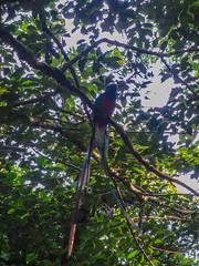 """La Réserve de Monteverde: un Quetzal Resplendissant mâle <a style=""""margin-left:10px; font-size:0.8em;"""" href=""""http://www.flickr.com/photos/127723101@N04/26911303786/"""" target=""""_blank"""">@flickr</a>"""