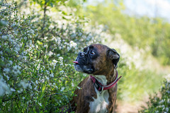 . (Tams Szarka) Tags: dog pet nature animal tongue forest puppy spring outdoor boxerdog boxer