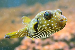 Stars & Stripes pufferfish