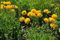 Yellow (bozhin.karaivanov) Tags: camera flowers plant flores flower planta sofia pflanze blumen location bulgaria blume nikond3200      plant  parkvrana