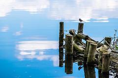 (lotl.axo) Tags: lake nature water birds animals clouds reflections germany landscape deutschland see tiere wasser natur wolken vgel landschaft steg wustrow mecklenburgvorpommern spiegelungen travelphotography reisefotografie bootsanleger mecklenburgischeseenplatte