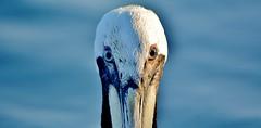 RCN_0146 (LilGoose10) Tags: bird nature animal nikon florida wildlife pelican d7100
