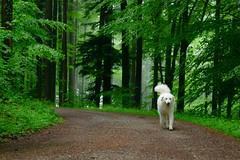 Sous la pluie (balu51) Tags: dog white cold tree green wet rain fog forest landscape fun grey spring nebel walk foggy running mai hund grn kalt wald bume enjoying regen kuvasz spaziergang nass waldweg 2016 schlechteswetter neblig ungarischerhirtenhund copyrightbybalu51