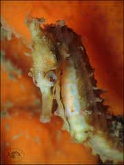 White's Seahorse (Hippocampus whitei) (Brian Mayes) Tags: canon seahorse underwater australia scuba diving pipeline nelsonbay 1734 g16 hippocampuswhitei brianmayes whitesseahorse canong16