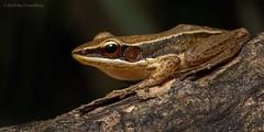 Bronze Back Frog (Hylarana temporalis) (Amit Rai Chowdhury) Tags: wildlife amphibian frog frogs amphibians westernghats sharavathi canon5dmkiii hylarana canon100mmf28lis hylaranatemporalis bronzebackfrog