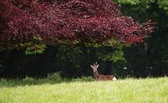 . (johndunlop17) Tags: castle gardens deer kennedy roe