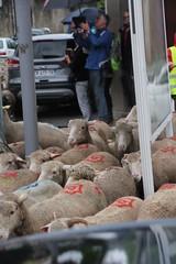 DEA AUGUSTA (26150) FETE DE LA TRANSHUMANCE SOUS LA PLUIE - DIE 2016 (jldarriere) Tags: die loup vercors moutons laine brebis drme transhumance alpage rhnealpes dauphin diois pastoralisme 26150 deaaugusta glandaz