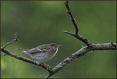 blackpoll warbler (Christian Hunold) Tags: bird philadelphia bokeh warbler songbird johnheinznwr woodwarbler blackpollwarbler christianhunold