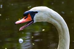 01122-1 (tobiaswrner) Tags: swan schwan schnabel