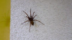 Spider (Shakar Photography) Tags: house spider big haus spinne gros 2011