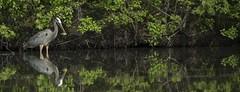 Heron Landscape (boni5d) Tags: fish reflection tree bird heron nature water leaves wisconsin landscape milwaukee catch blueheron