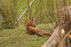 Islands at Chester Zoo (155) (rs1979) Tags: zoo islands tiger chester sumatrantiger chesterzoo
