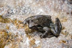 Albanian Water Frog (alexspengler) Tags: animal outdoor kosova kosovo