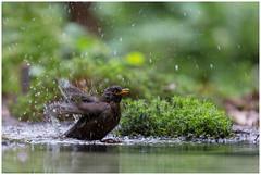 Common Blackbird (male) - Merel (man) (Turdus merula) (Martha de Jong-Lantink) Tags: vogels turdusmerula vogel merel 2016 schuilhut fotohut vogelhut commonblackbirdmale merelman vogelhuisoosterhout
