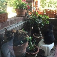 She's killing my basil! (Philosopher Queen) Tags: kitchen cat chat kitty tortoiseshell willow gato porch basil flowerpot torte