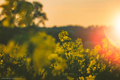 Summer sunset | Rape seed field (photomez) Tags: staffordshire eccleshall canon tree rapeseed yellow sunset lensflare summer bluesky