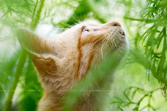 Sam (Maria Dattola) Tags: orange macro green nature animal horizontal closeup cat daylight eyes kitten bokeh wildlife details nopeople copyspace brightness domesticcat freshness mariadattola cosmeaplant thejunglecat