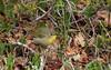 Common Yellowthroat (jd.willson) Tags: me nature birds female island bay wildlife birding maine jd common warbler penobscot willson yellowthroat islesboro jdwillson
