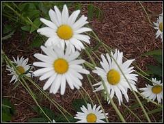 Daisies - Photo Taken by STEVEN CHATEAUNEUF - June 12, 2016 (snc145) Tags: flowers nature daisies photo spring seasons soe autofocus flickrunitedaward vividstriking stevenchateauneuf june122016