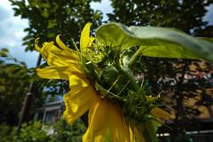 DP0Q2661lr (yoshitoshi ABe) Tags: flower sigma   dp0quattro 20160626