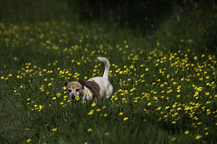 Among The Buttercups (me'nthedogs) Tags: jrt terrier snaps jackrussell buttercups 2452 52weeksfordogs