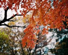 1256/1734' (june1777) Tags: autumn mamiya maple fuji superia seoul 100 90mm kl 67 rz rz67 f35