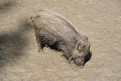 5-IMG_8455 (hemingwayfoto) Tags: deister drecksau ferkel jung jungtier matsche matschepampe pampe säugetier schlamm schmutzig schwarzwild schwein springe tierpark wildschwein wisentgehege
