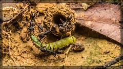 hardworking (kelvinj_funlab) Tags: macro nikon bugs malaysia ants tamron perlis kenkoextension d810 funlab nissini40 kelvinjong tamron90mmf28spdimacro11vcusd