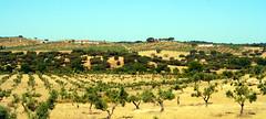 Alentejo (Antnio Jos Rocha) Tags: luz portugal natureza paisagem alentejo sul rvores montes oliveiras baixoalentejo vidigueira