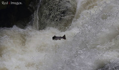 Wrong direction. (northernkite) Tags: white water river salmon falls rapids dee spawn leap banchory headwaters feugh
