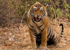 TIG01054GB_1 (giles.breton) Tags: india tiger tigers endangered ranthambhore panthera threatened andyrouse ranthambhorenationalpark pantheratigristigris royalbengaltiger dickysingh