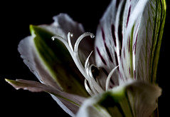 Lilie close (Klaus Ficker --Landscape and Nature Photographer--) Tags: flower macro water beauty closeup canon drops lillie eos5dmarkii tamron180mmmarco klausficker