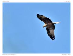 Buse | Common Buzzard (BerColly) Tags: france bird google flickr vol buzzard oiseau auvergne buteo puydedome busevariable flicght bercolly buteocommon