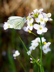 Rapsweiling auf Schaumkraut (khn.carsten) Tags: summer plant flower nature butterfly landscape sommer jahreszeit natur eifel landschaft tier schmetterling blumenundpflanzen